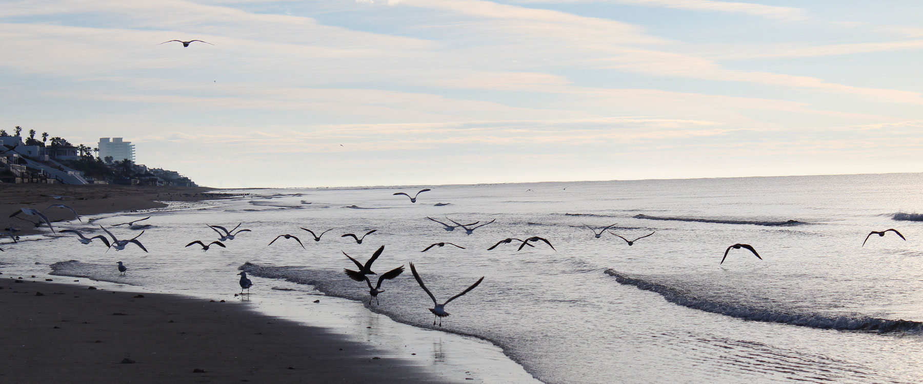 Gulls Skim Seaside at Sunrise in Puerto Penasco Mexico.