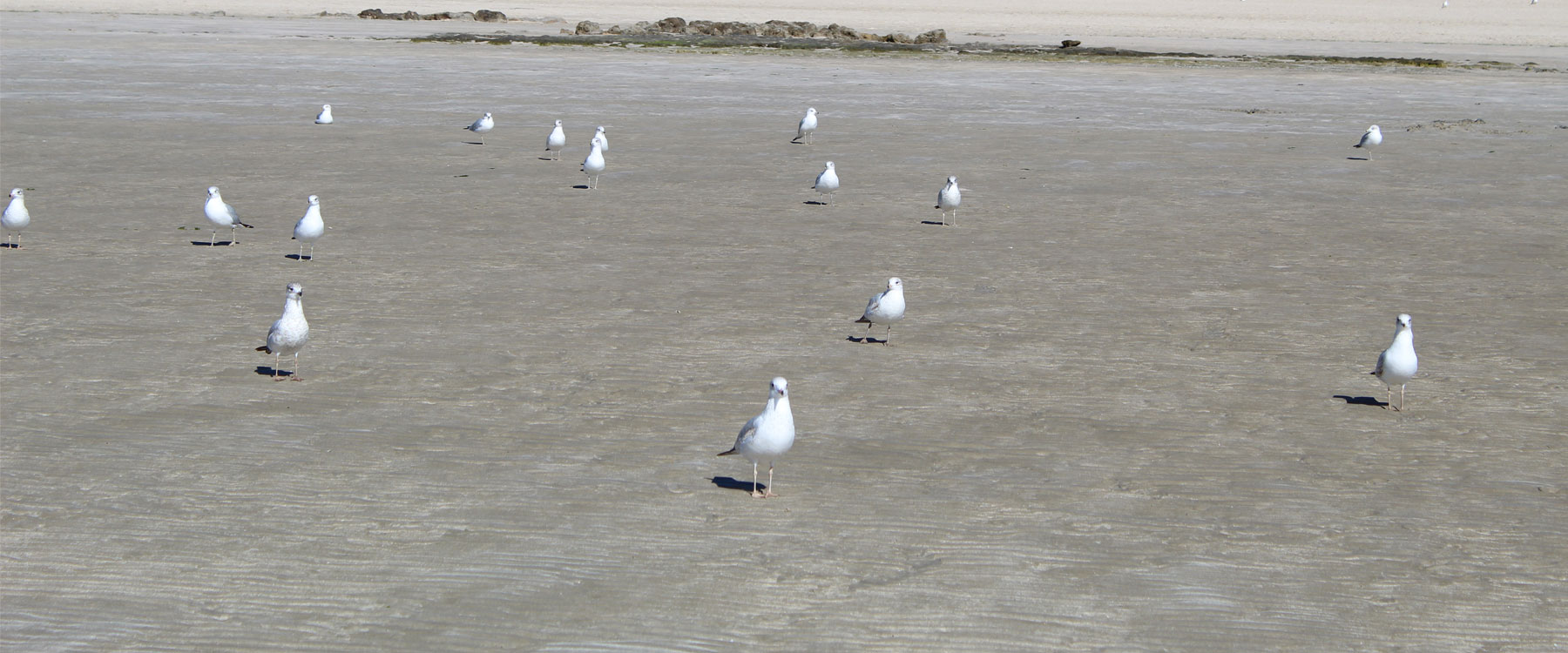 Seagull stand together in Puerto Penasco Mexico (Rocky Point).